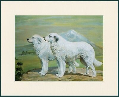 Pyrenean Mountain Dog Two Dogs Lovely Print Mounted Ready To Frame