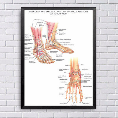 Human Anatomy Wrist and Foot Joints Silk Poster Anatomical Chart Body Midcal
