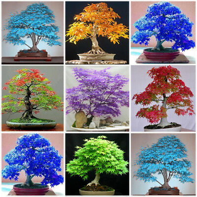 30pcs Multi-color Maple Bonsai Tree Seeds Beautiful Indoor Bonsai Plants Potted
