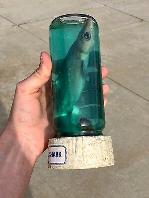 Preserved Real Baby Shark in a Jar Taxidermy Specimen
