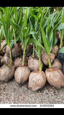 2x Sprouted Coconut palms.  (organic tree plants landscape nursery perennial)