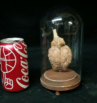 Preserved Monkey Brain Display,scientific,obscure,odd,taxidermy,oddity,curio,