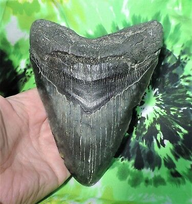 Massive 6 1/16'' Megalodon Sharks Tooth No Repairs / Fossil Sharks Teeth
