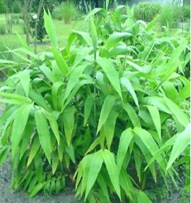 6 x Tiger Grass plants. 50mm Tubes Clumping bamboo. Screen. Tropical Hedge