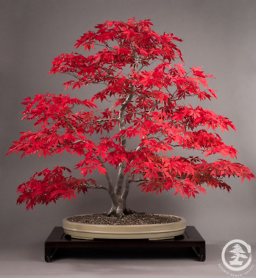 10 Semi Acero Giapponese - Acer Palmatum 10 Seeds /// Perfect Bonsai