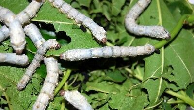 50+ Silkworm Eggs - Standard White Worms