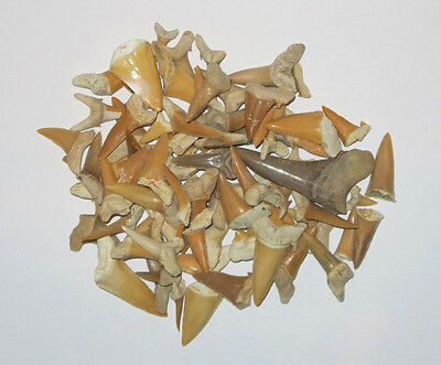 Dents de requin fossiles - Carcharias koerti - Fossil Shark Teeth - 100 g
