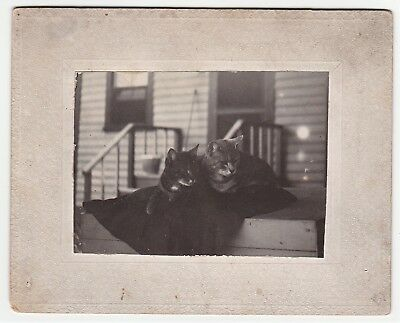 Cute ca 1890 Victorian Photo of Kitty Cats - Homemade Amateur - Upstate NY