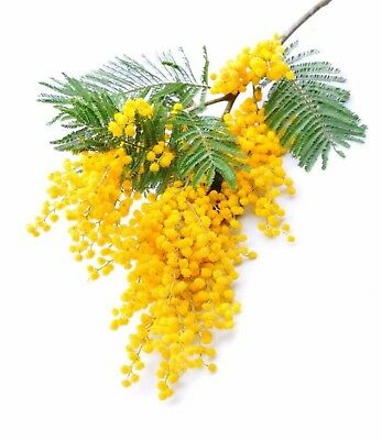Silver Wattle (Mimosa) Absolute Pure Essential Oil -10 ML+Free Carrier oil 10 ml