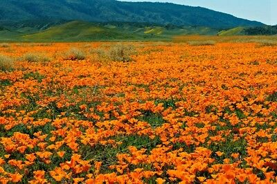 1000 Graines Pavot de Californie Eschscholzia californica California Poppy Seeds