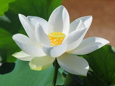 5 Graines Lotus sacré, Sacred Lotus Nelumbo nucifera White Seeds
