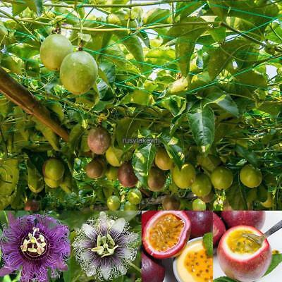 10/20/50 Pcs Passiflora passion seeds bonsai flower seeds for garden RLWH