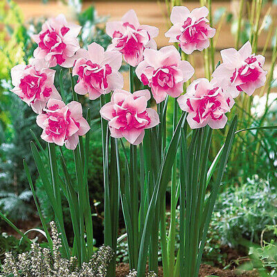 400 Double Mixed Narcissus Duo Bulbs Scented Pastel Daffodil Plant Flower Seeds
