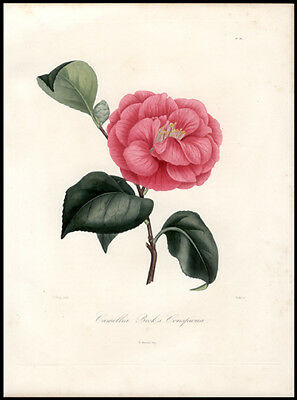 Original Antique 177 Yr Old  Berlese  Hand-Colored Engraving Beautiful Camellia