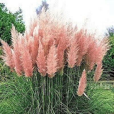 200 PINK PAMPAS GRASS Cortaderia Selloana Rosea Ornamental Flower Seeds *CombS/H