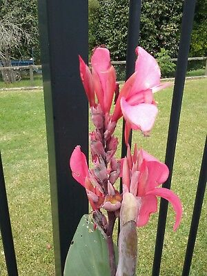Canna Lily – Soft Pink Canna indica 10 Seed Indain Shot