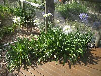 AGAPANTHUS - blue/white mix- Ready to plant- 500 available- Just $2 each