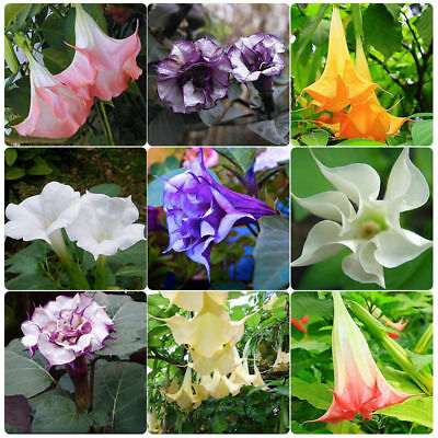 30pcs Flamenco Angel Trumpets Seed Garden Plant Bonsai Flower Seeds Home Decor