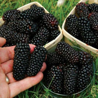 100x Black Raspberry Blackberry Seeds Fruit Seed Juicy Delicious Nutritious New
