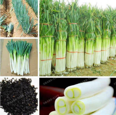 100-Pcs-Giant-Chinese-Green-Onion-Seed-Home-Garden-Bonsai-Plant-Rare-Vegetable