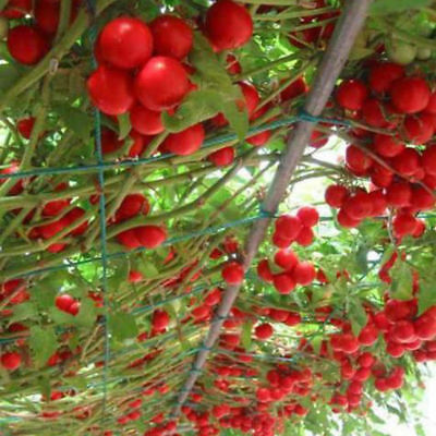 HigVegatable seeds - tomato tree high yield Survival Organic Heirloom NON-GMO