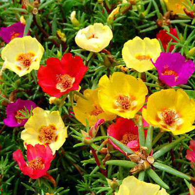 200x-Moss-Rose-MIX-Portulaca-Grandiflora-Fresh-Seeds-Flower-Alpine-Garden-Decor