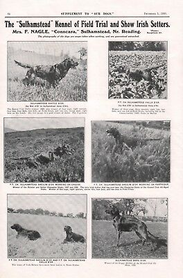 Irish Setter Our Dogs 1930 Dog Breed Kennel Advert Print Page Sulhamstead Kennel