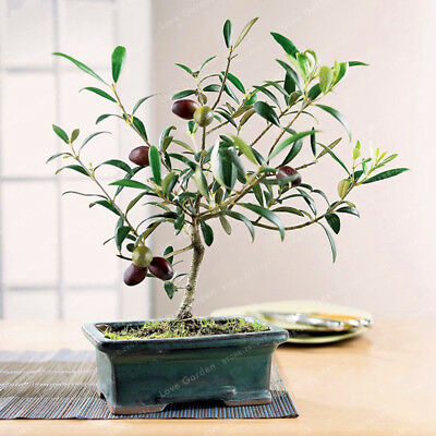 10pcs.Seeds Olive Tree Bonsai Exotic Mini House Garden Rare Seeds Ffree Shipping