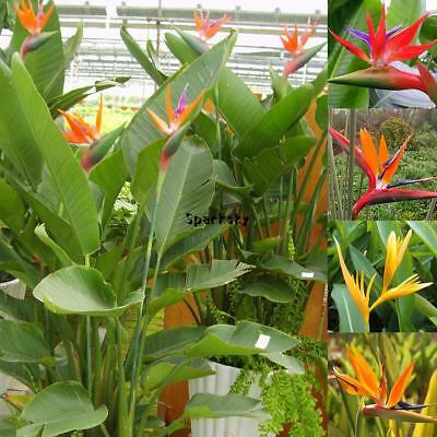 50pcs Rare Strelitzia Reginae Flower Seeds Bird of Paradise Tropical Plant LB0