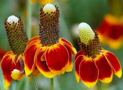 1/2 oz Mexican Hat Seeds, Heirloom Daisy Seeds, Non-GMO Bulk Seed, About 26,000