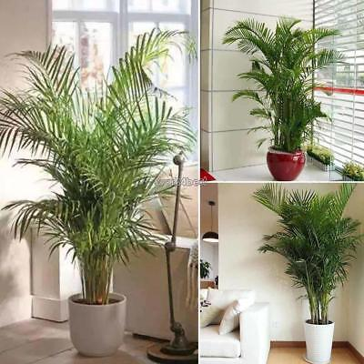5Pcs Home Decoration Indoor Plants Areca Butterfly Palm Seeds WST