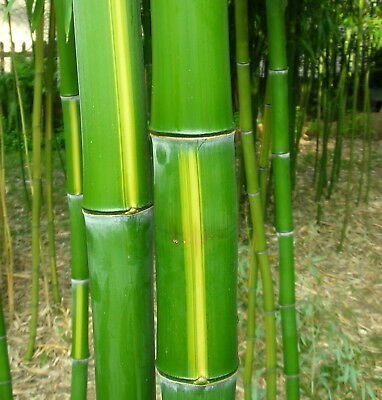 BAMBUS Jungpflanze Phyllostachys Vivax  12 Meter hoch / 8 cm dick