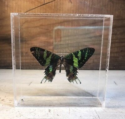 Signed Purington Real Framed Butterfly Mounted In Acrylic Display Box