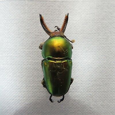 BEETLE - Lamprima latreillei var. mandibularis male 31mm +- from Qld., Australia