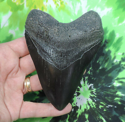 Solid 4 1/2'' Megalodon Tooth Fossil Sharks Teeth