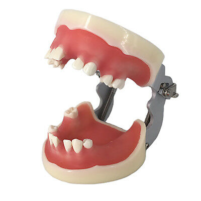 Teeth Model Standard Dental Teaching Study Typodont Demonstration Jaw Rack