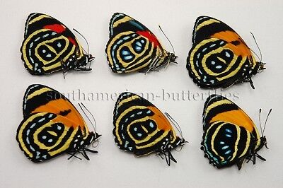 LOT OF 6 MIXED ASSORTED CALLICORE SP. UNMOUNTED A1 BUTTERFLIES aberrant 6sp