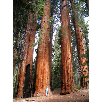 100 PCS Rare Giant Redwood Seeds Fast Growth Rare Tree Seeds For Garden Decor