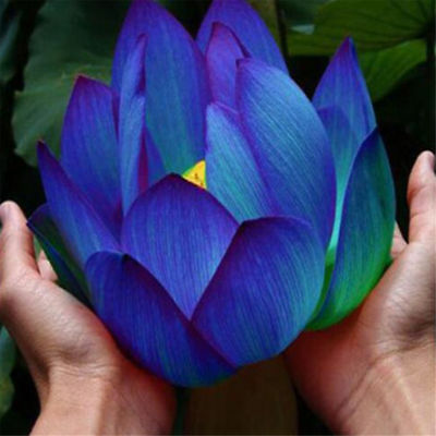 10pcs-Flower-Seeds-Blue-Lotus-Seeds-Aquatic-Plants-Water-Lily-Plants-Rare-Lotus