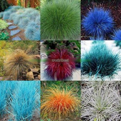 20/50Pcs Garden Balcony Beautiful Bonsai Plants Festuca Glauca Seeds WST