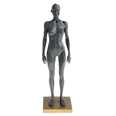Anatomical Female Muscular and Skin Figure Model Human Anatomy Model (Gray)