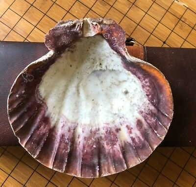"""2 Brown  Lions Paw Scallop Shell 5"""" - 6"""" Seashell Beach Smudge"""