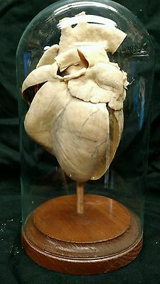Antique Heart Teacher Display,medicine,plastinate,scientific,obscure,odd,macabre