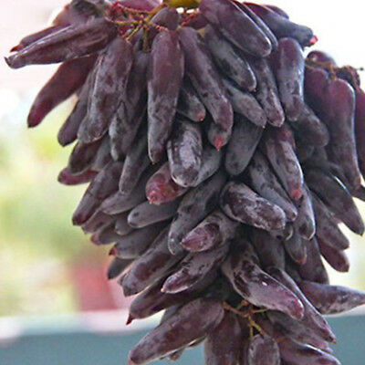 50x Rare Finger Grape Seeds Advanced Fruit Natural Growth Delicious Balcony tall