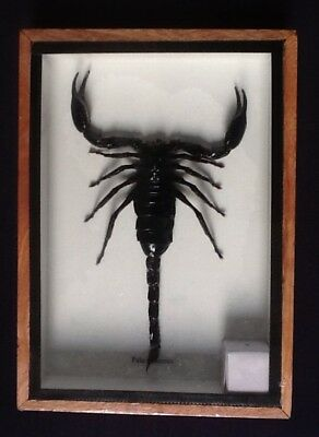 Giant Black Scorpion shadow box bug taxidermy insect entomology interior design