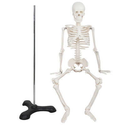 1/2 Life Size 85CM Medical Anatomical Human Skeleton Model with Rolling Stand