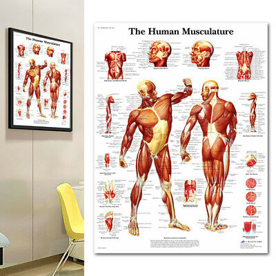 Human Body Muscle Anatomy System Poster Anatomical Chart Educational Poster Deco