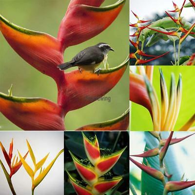 50Pcs Garden Premium Green Tree Species Heliconia Seeds AGSG
