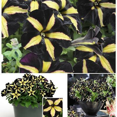200pcs Black Petunia Seeds Garden Plant Potted Morning Glory Seeds AGSG