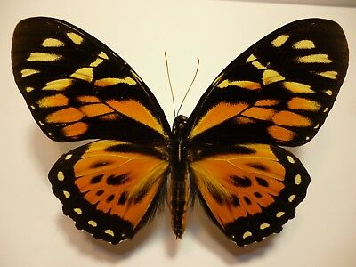 Real Dried Insect/Butterfly/Moth Non-Set.B3724 V'Rare Lge Papilio zagreus Peru